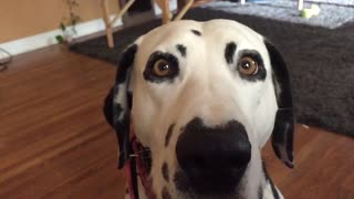 Beautiful Dalmatian licking her chops in slow motion - Video