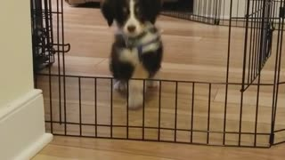 Black and white puppy jumps over puppy gate - Video