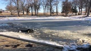 Cows Rescued from Frozen Pond