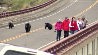 Black bear with cubs chases Yellowstone tourists - Video