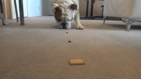 Trail of treats leads English Bulldog to delicious snack