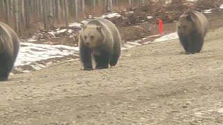 Grizzly Mom Stands in Front of Truck