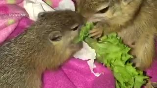 Mother squirrely & baby adorably snack on piece of lettuce