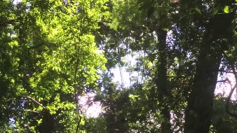 Haunting sounds of howler monkey - SCARY