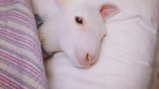 Prince the Lamb Tucked Into Bed