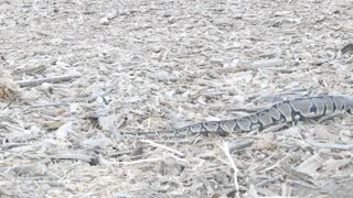 Python Spotted Slithering at Los Angeles Park - Video