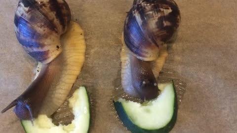 African Snails - Eating contest - Time-laps