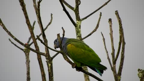 A blue headed pionus perched on a stem