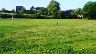 Cocker Spaniel has a spring in his step playing fetch!  - Video
