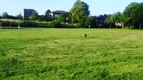 Cocker Spaniel has a spring in his step playing fetch!