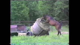 Hungry Horse Steals Hay From Farmer Transporting Hay Bales