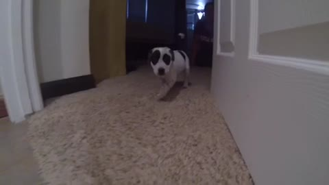 Rescue Puppy Cookies and Cream learns how to run!