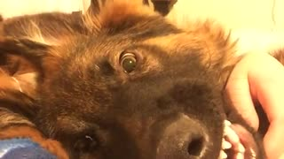 German shepherd smiles for camera - Video
