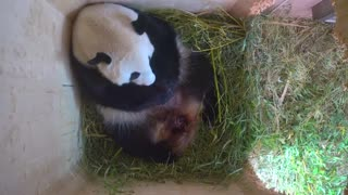 Baby giant panda born at the Vienna zoo - Video