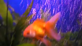 my gold fish,blue gorami, angles fish  - Video