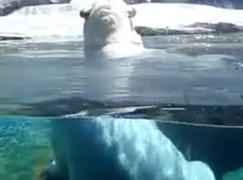 Polar Bear Showing His Wicked Basketball Skills Dribbling in Water - Video