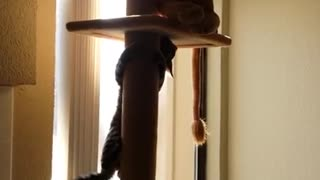 Cocoa the kitty attacking a stuffed lion - Video