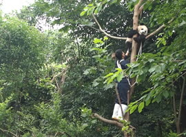 Panda Doesn't Want to Leave Tree - Video
