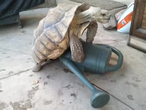 Turtle on a Watering Can