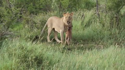 Leo saves small antelope from another lion!