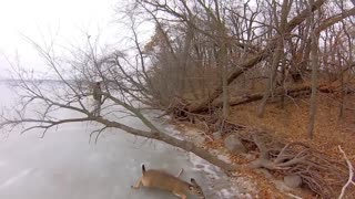 Hovercraft Deer Rescue - Video
