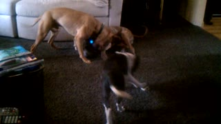 Pitbull dogs showing off - Video