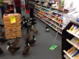 Ducks Invade CVS Store in Saratoga Springs - Video