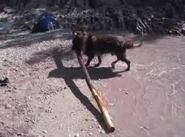 German Shepherd Dog brings very large tree trunk from the ocean - Video