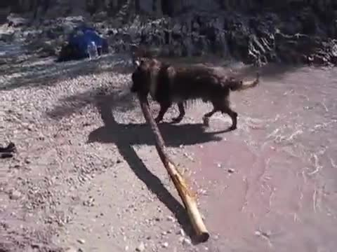 German Shepherd Dog brings very large tree trunk from the ocean