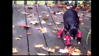Puppies shod for the first time - Video