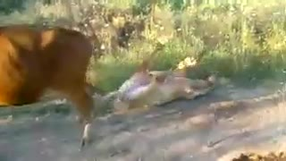 Funny Cow Act - Video