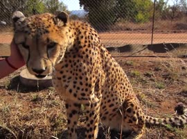 Cuddling a Cheetah! - Video