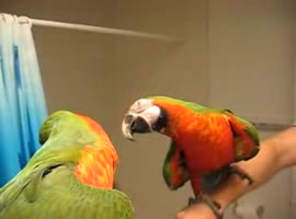 -Talking Macaw Shushes Other Parrot-