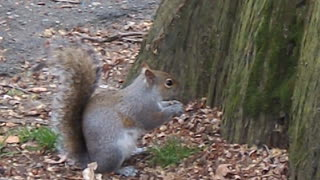 Squirrel makes breakfast - Video