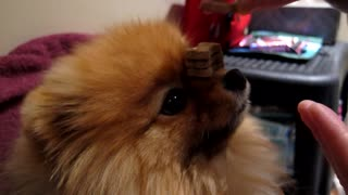Flint the Pomeranian Balances 10 Treats on Nose - Video