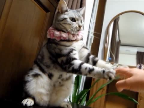Cat's Hand-Swinging Dance with Her Human