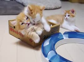 -Adorable Munchkin Kittens in a Box- - Video
