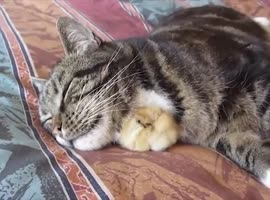 Best Friends Cat and chick - Video