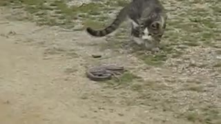 cat against viper - Video
