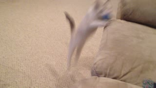 Nitro the Kitten Loves to Play Catch - Video