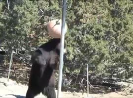 Bear Playing Tetherball - Video