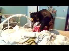 Dog Tries to Hide Bone From Cats - Video