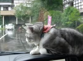 Determined Cat vs Windshield Wipers