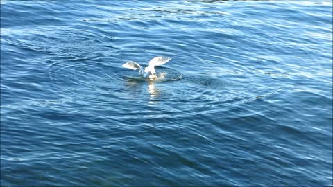 Seagull steals fish head from a seal....!