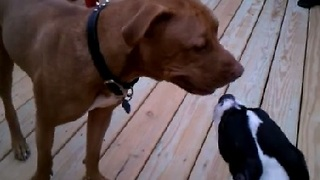 Pitbull Puppy Learning to Play With Big Dogs - Video