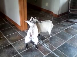 Baby Goat vs Mirror Reflection