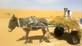 Donkey cart with dog run. - Video