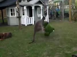 Kangaroo throws big fight - Video