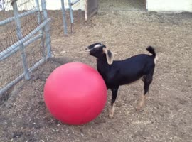 Goat Loves Playing With Yoga Ball - Video