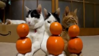 gatti equilibrati - Video